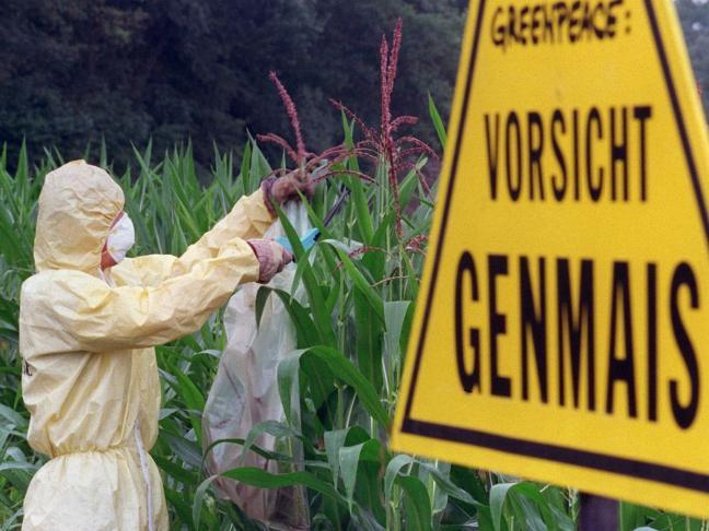 Greenpeace Mitarbeiter im Schutzanzug im Mais, dazu ein Schild 'Vorsicht Genmais'